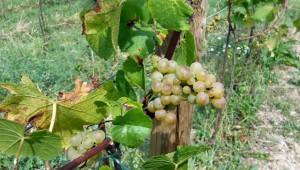 Sulla strada del vino tra Cormons, Gorizia e Šmartno
