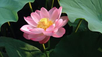 Il miracolo della presenza mentale e il tè al Fior di loto (Nelumbo)